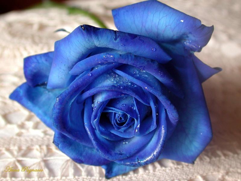 Dyed blue roses are the most breathtaking flowers.