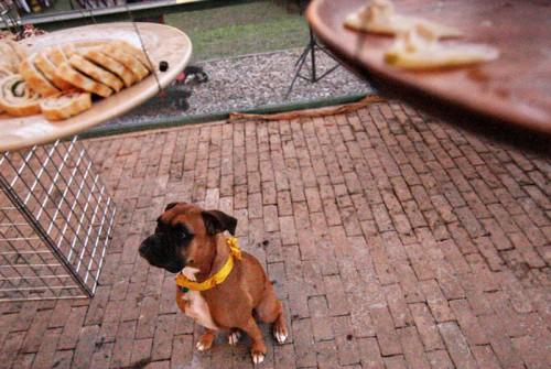 dog-with-homemade-ribbon-collar-wedding