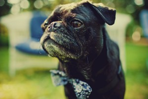 pug-in-a-bow-tie