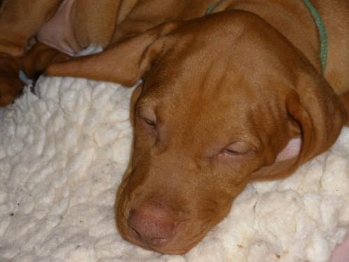sleepy-puppy