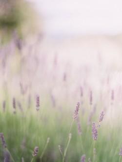 Field-of-Lavender