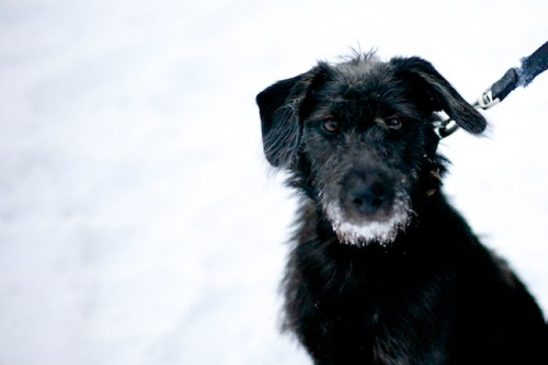 Black-Dog-in-Snow