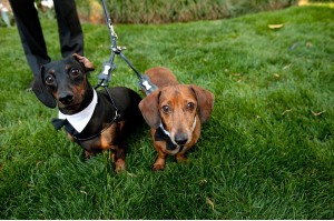 Wedding-Dachshund