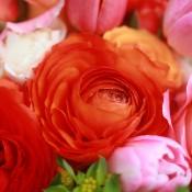 Sherbet-ranunculus-tulips