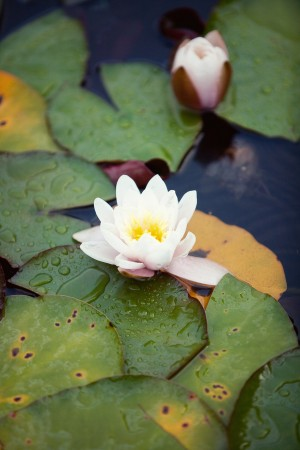 Floating-Lily-Pads