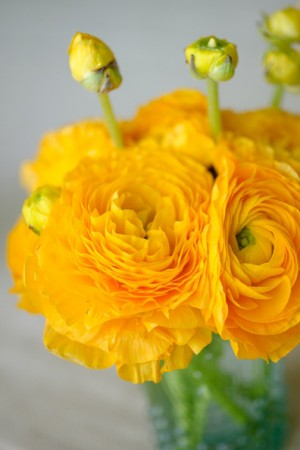 yellow-ranunculus
