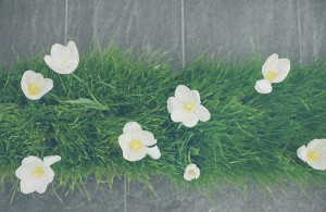White Tulips in Grass Containers 1