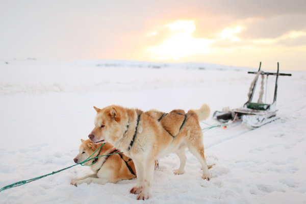Dogsledding at Sunrise