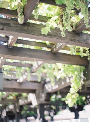 Grapes on Vine at Winery