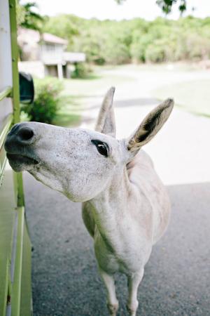 Donkey at Caneel Bay