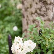 Flower Vine on Iron Gate