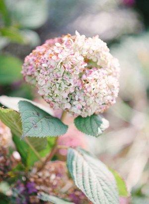 Pink and Green Hydrangea Bloom