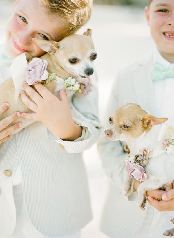 Ring Bearer Chihuahuas