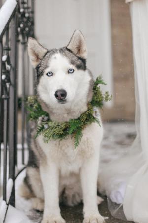 Husky in Greenery Wreath