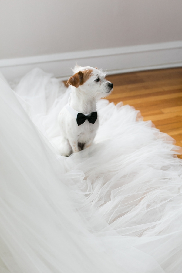 Jack Russell Terrier in Bow Tie