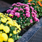 Yellow Pink and Orange Mums