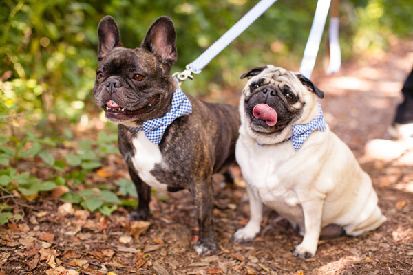 Pugs in Blue Gingham Bow Ties