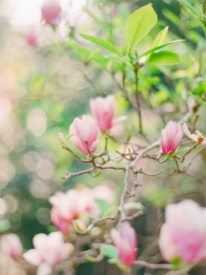 Azalea Bush in Bloom