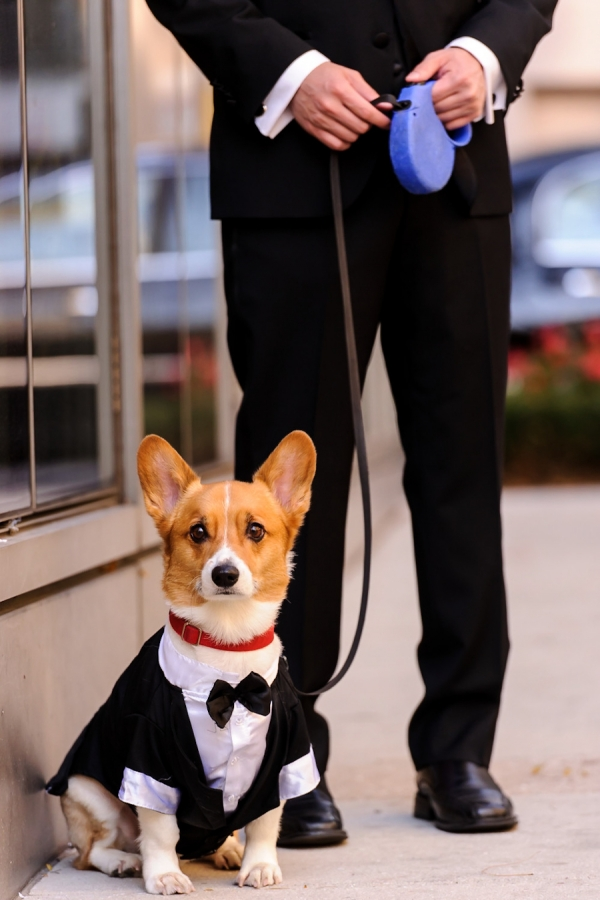 Corgi in Wedding