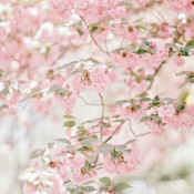 Cherry Blossoms in Georgia