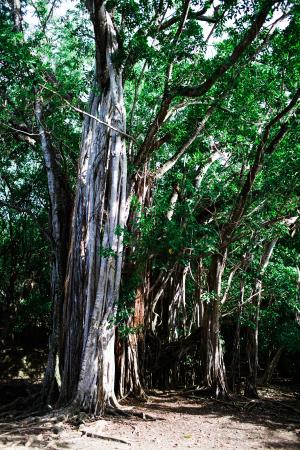 Trees in Martinique