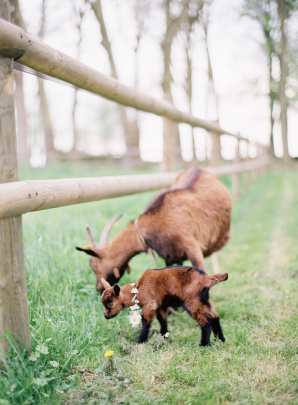 Baby Goat at Wedding