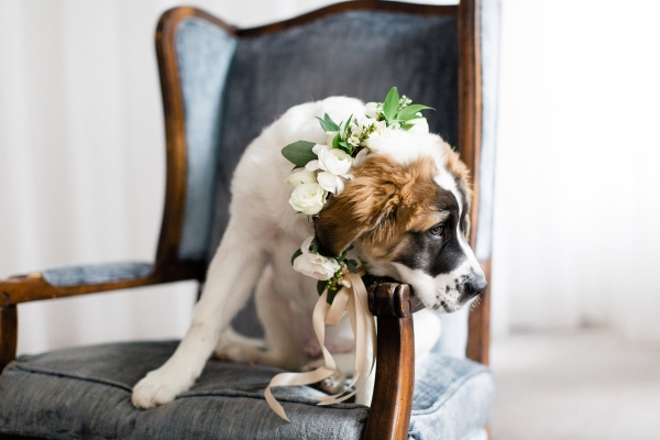 Saint Bernard Puppy in Wedding 2
