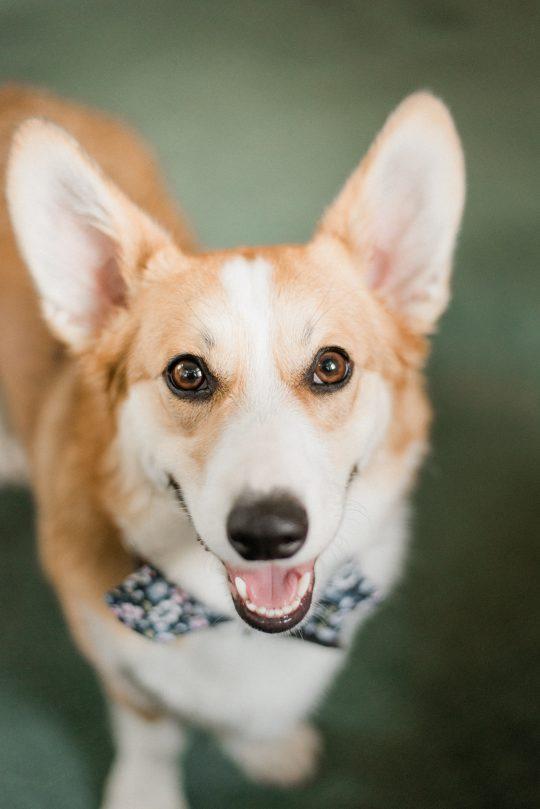 Wedding Corgi Dog Photo